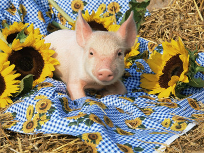 Domestic Piglet and Sunflowers, USA Premium Poster