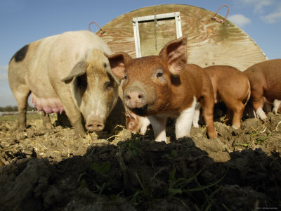 Free Range Organic Pig Sow with Piglets, Wiltshire, UK Premium Photographic Print by T.j. Rich