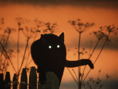 Black Domestic Cat Silhouetted Against Sunset Sky, Eyes Reflecting the Light, UK Premium Photographic Print by Jane Burton