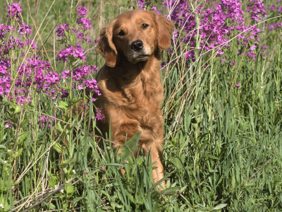 Golden Retriever Amongst Meadow Flowers, USA Premium Photographic Print by Lynn M. Stone