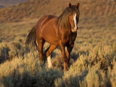 Redsteel or Red Walker-carol-mustang-wild-horse-chestnut-stallion-walking-wyoming-usa-adobe-town-hma
