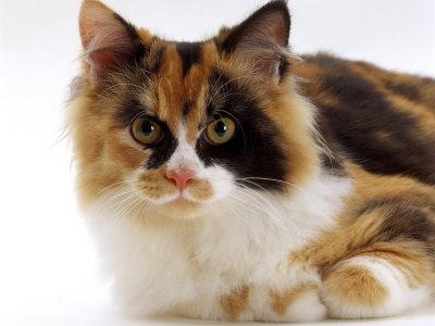 kan katter se färger