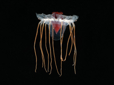 Deep Jellyfish