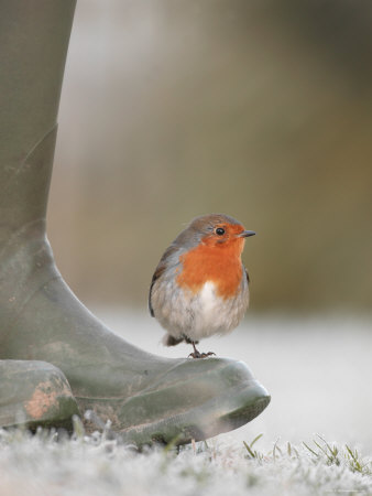 Robin Perched on Boot, UK Premium Photographic Print by T.j. Rich