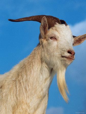 Domestic Goat Head Portrait, Europe Fotoprint av  Reinhard