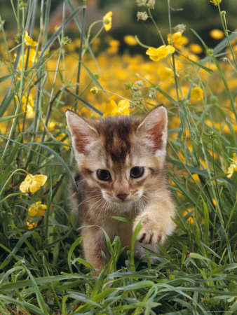 Domestic Cat, 6-Week, Abyssinian Kitten Walking in Grass with Buttercups Premium Photographic Print by Jane Burton