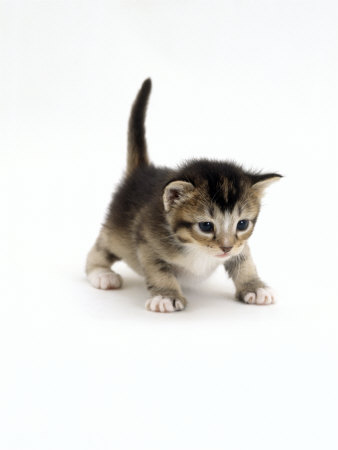 Domestic Cat, 3-Week Ticked-Tabby Kitten Premium Poster