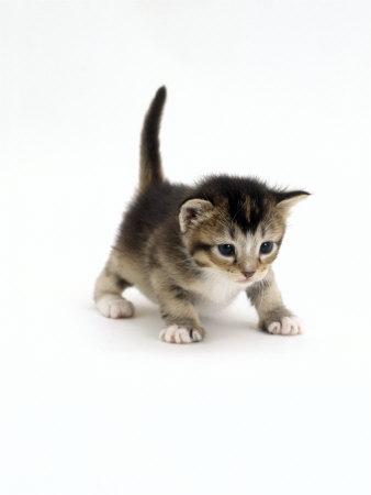 Kits o3o Burton-jane-domestic-cat-3-week-ticked-tabby-kitten