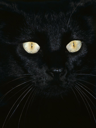 Black Domestic Cat, Eyes with Pupils Closed in Bright Light Premium Photographic Print by Jane Burton