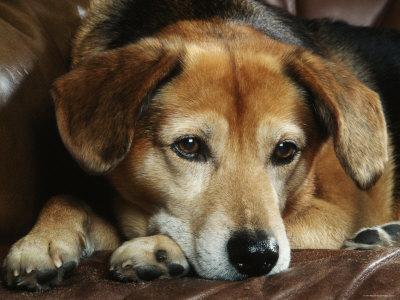 Mixed Breed Dog Sitting on Sofa Premium Photographic Print by Petra Wegner