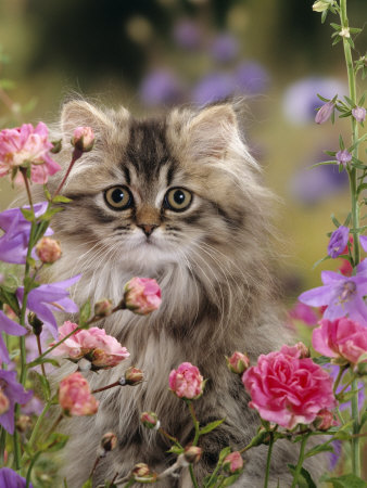 Domestic Cat, Portrait of Long Haired Tabby Persian Kitten Among Dwarf Roses and Bellflowers Premium Photographic Print by Jane Burton