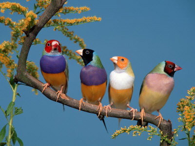 Four Gouldian Finches Premium Poster