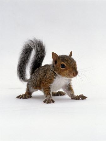 Baby Grey Squirrel, Portrait Fotografisk tryk af Jane Burton