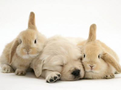 Golden Retriever Puppy Sleeping Between Two Young Sandy Lop Rabbits Premium Poster
