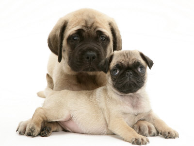 Fawn Pug Puppy with Fawn English Mastiff Puppy Posters by Jane Burton ...