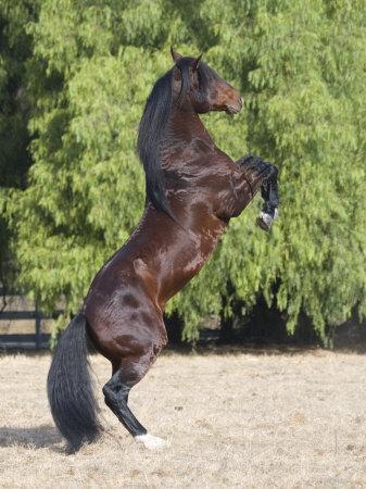 Bay Azteca (Half Andalusian Half Quarter Horse) Stallion Rearing on Hind Legs, Ojai, California Premium Photographic Print by Carol Walker