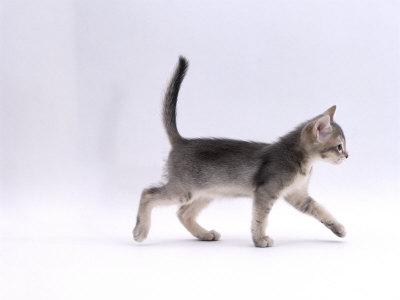 Domestic Cat, 8-Week Ticked-Silver Kitten, Walking Profile Premium Photographic Print by Jane Burton