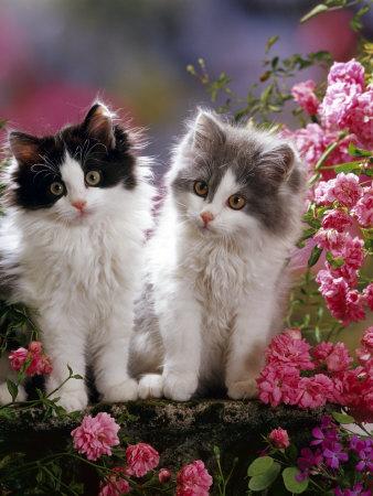 Domestic Cat, Black and Blue Bicolour Persian-Cross Kittens Among Pink Climbing Roses Premium Photographic Print by Jane Burton