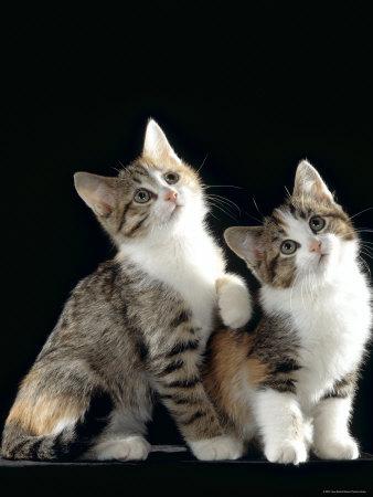 Domestic Cat, Two 8-Week Tabby Tortoiseshell and White Kittens Premium Photographic Print by Jane Burton