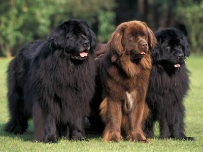 Domestic Dogs, Three Newfoundland Dogs Standing Together Premium Photographic Print by Adriano Bacchella