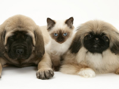Mastiff Puppies on Pekingese And English Mastiff Puppies With Birman Cross Kitten Premium