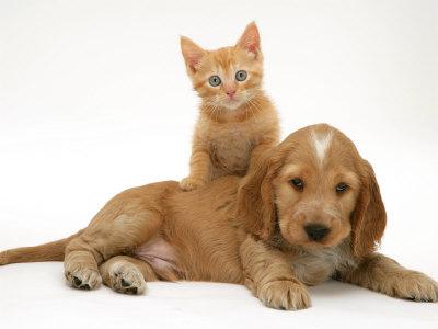 Ginger Kitten Climbing Ontop of Golden Cocker Spaniel Puppy Premium Photographic Print by Jane Burton
