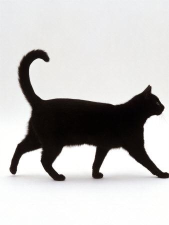 Domestic Cat, Black Short-Hair Male, Walking Profile Premium Photographic Print by Jane Burton