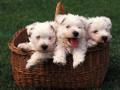 Three West Highland Terrier / Westie Puppies in a Basket Premium Photographic Print by Adriano Bacchella