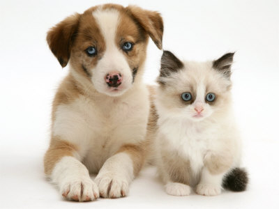 Collie Puppies on Blue Eyed Red Merle Border Collie Puppy With Birman Cross Kitten  Blue