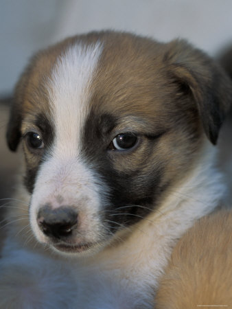 Half / Mixed Breed Puppy Premium Photographic Print by Adriano Bacchella