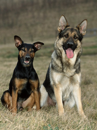German Shepherd and Mixed Breed Dogs Premium Photographic Print by Petra Wegner