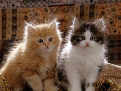 Domestic Cat, 8-Week, Red and Tabby White Persian Cross Kittens Premium Photographic Print by Jane Burton