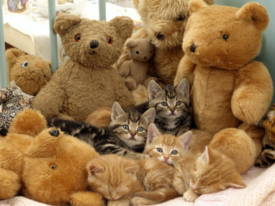 Domestic Cat, Five Kittens in Cot with Teddy Bears Premium Photographic Print by Jane Burton