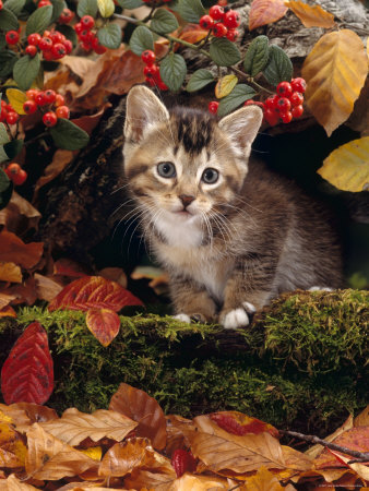Domestic Cat, Tabby Kitten Among Autumn Leaves and Cottoneaster Berries Premium Photographic Print by Jane Burton