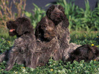 Korthal's Griffon / Wirehaired Pointing Griffon Puppies Resting