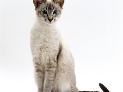 Domestic Cat, Blue Tabby-Point Siamese Male Sitting Photographic Print