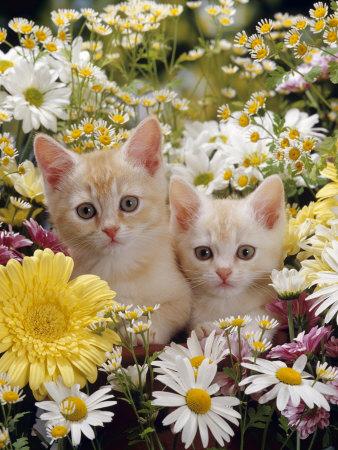 Domestic Cat, Two Cream Kittens Among Dasies and Feverfew Premium Photographic Print by Jane Burton