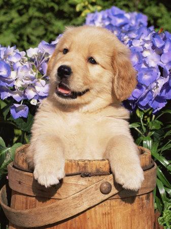 Golden Retriever Puppies on Golden Retriever Puppy In Bucket  Canis Familiaris  Illinois  Usa