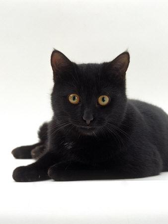 Domestic Cat, Young Black Male Premium Photographic Print by Jane Burton