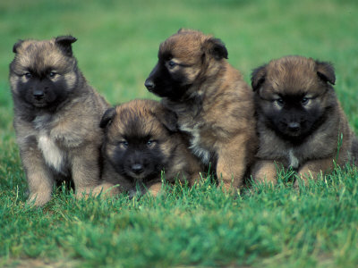 Belgian Shepherd Dog Picture