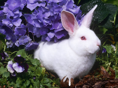 Domestic New Zealand Rabbit, Amongst Hydrangea, USA Photographic Print