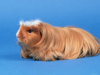 The coronet guinea pig has a crest on the top