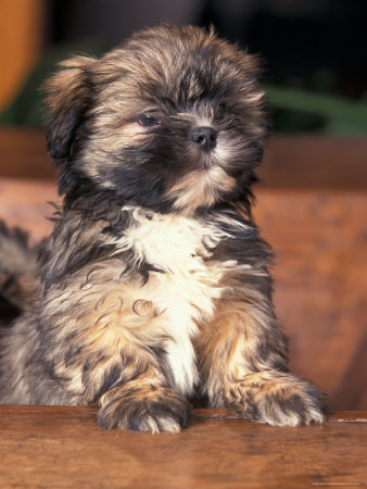 Lhasa Apso Poodle Puppies