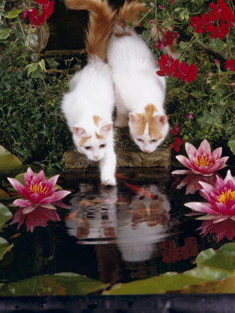 Domestic Cat, Two Turkish Van Kittens Watch and Try to Catch Goldfish in Garden Pond Premium Photographic Print by Jane Burton