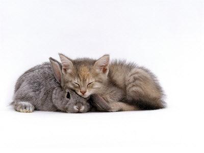 Domestic Cat, Silver Tortoiseshell Kitten with Silver Dwarf Lop Eared Rabbit Premium Photographic Print by Jane Burton