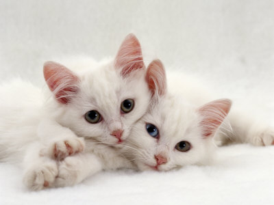 Domestic Cat, Two White Persian-Cross Kittens, One Odd-Eyed Premium Poster