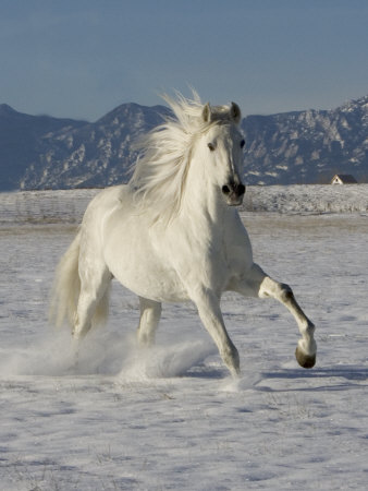 Gray Andalusian Stallion, Cantering in Snow, Longmont, Colorado, USA Premium Poster