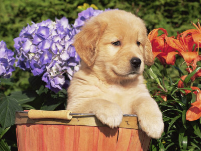golden retriever puppy pictures. Golden Retriever Puppy in