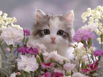 8-Week, Silver Tortoiseshell-And-White Kitten, Among Gillyflowers, Carnations and Meadowseed Premium Photographic Print by Jane Burton