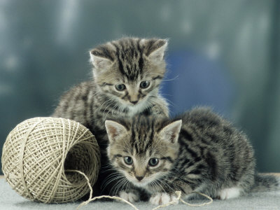 Kittens at Play Premium Photographic Print by  Steimer
